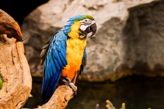 Blue and gold macaw (ara ararauna) è in piedi sul ramo di un albero.
