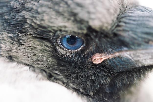 Blue eye of corvo da vicino. ritratto di uccello urbano. giovane corvo