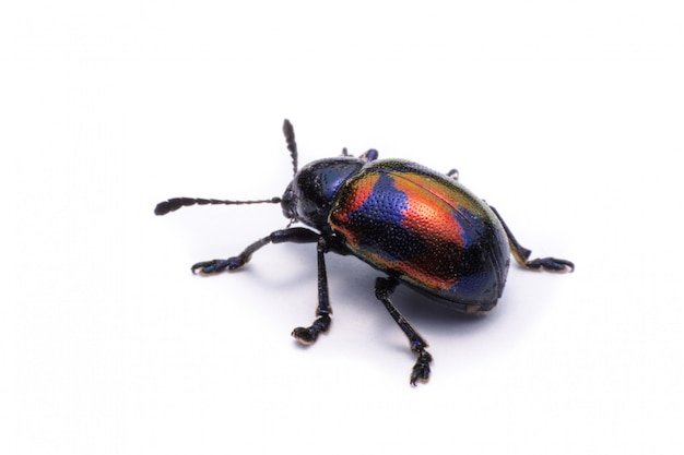Blue milkweed beetle; nome scientifico chrysochus pulcher baly, isolato su bianco