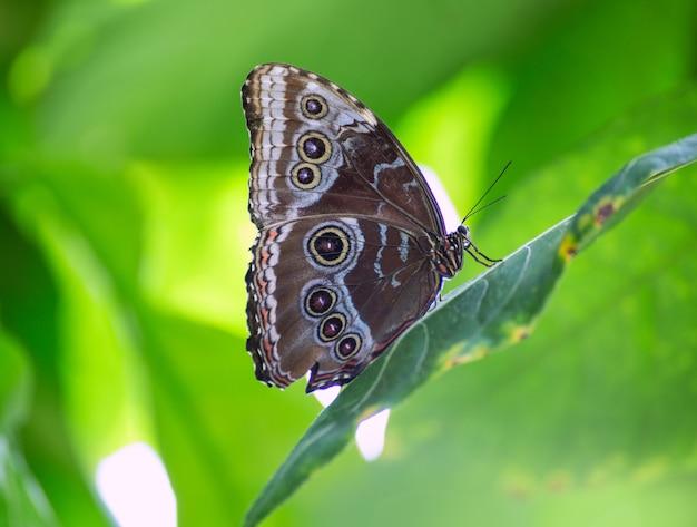 Blue monrpho butterfly peleides in foglia rossa