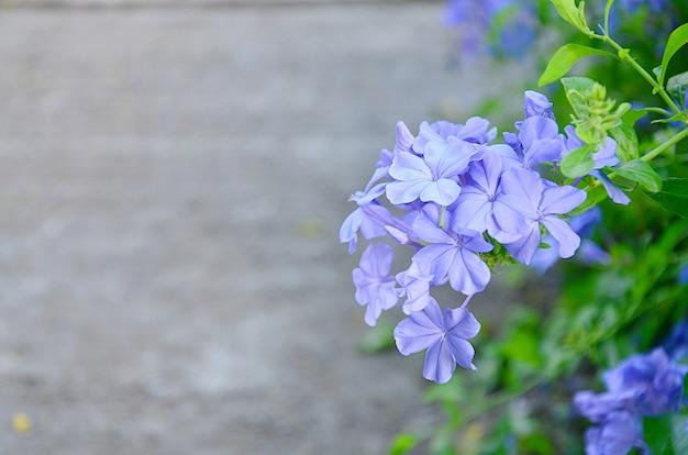 Blue wildflowers chiamato cape leadwort su sfondo sfocato.