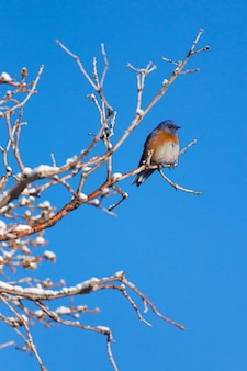 Bluebird occidentale in inverno verticale