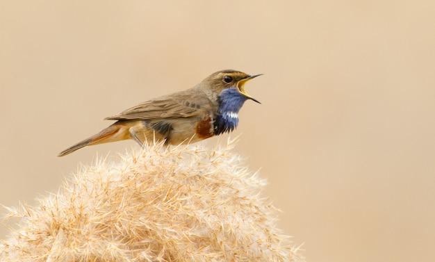 Bluethroat maschio canta seduto su una canna