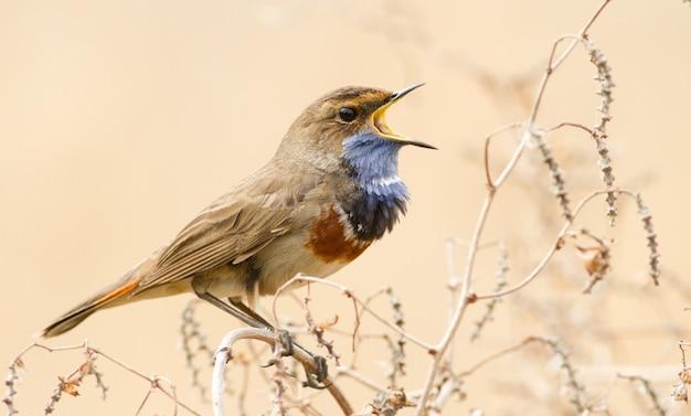 Bluethroat maschio canta seduto su una pianta