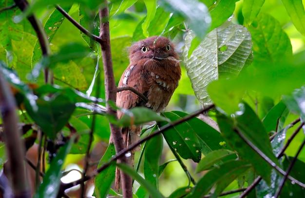 Blyth's frogmouth bellissimi uccelli della thailandia