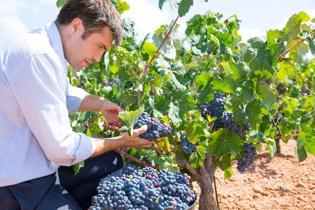 Bobal raccolta con winemaker agricoltore mietitrice