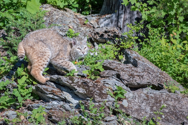 Bobcat si è appollaiato in cima a una roccia ai margini del bosco
