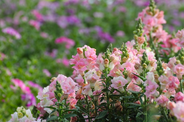 Bocche di leone rosa (antirrhinum majus) in giardino.
