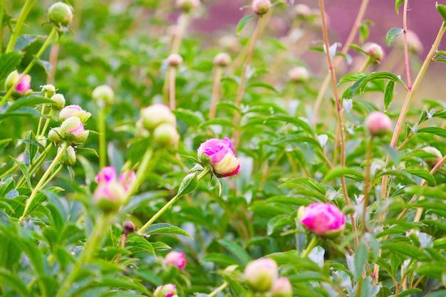 Boccioli di peonie rosa e bianche in fiore