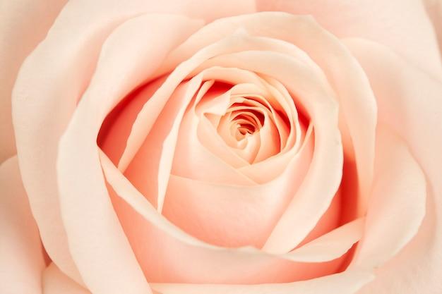 Boccioli in fiore di rose belle, delicate e cremose.