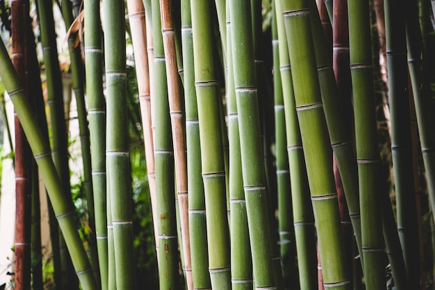 Bolle di bambù verde