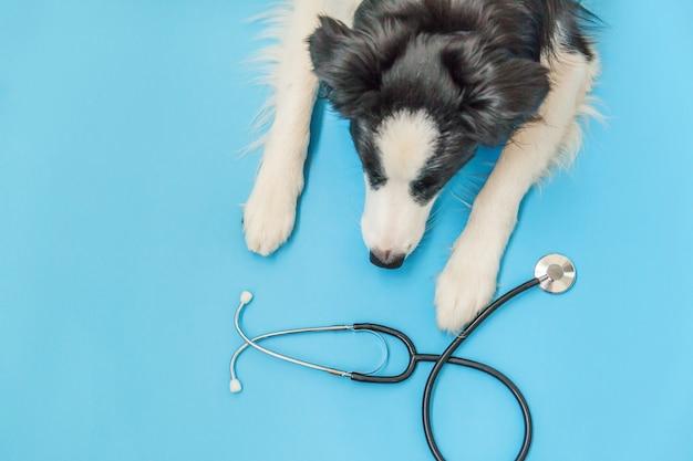 Border collie e stetoscopio isolati su fondo blu