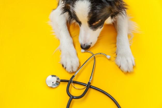Border collie e stetoscopio isolati su fondo giallo