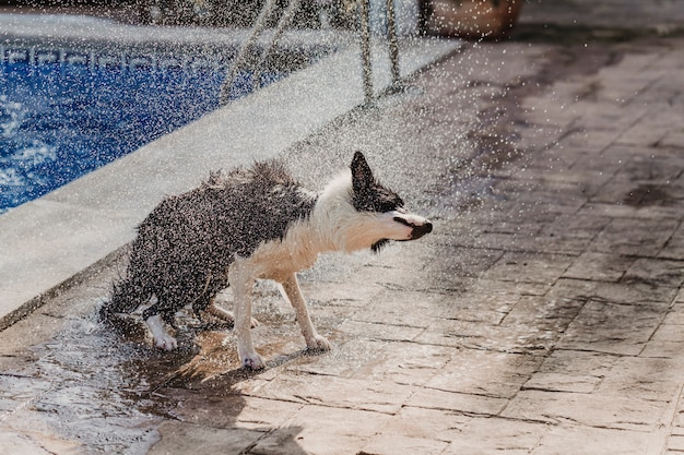 Border collie in bianco e nero un simpatico cane che gioca in piscina e si diverte durante le vacanze estive. scuotere l'acqua e far cadere gocce d'acqua dalla luce del sole. concetto di estate