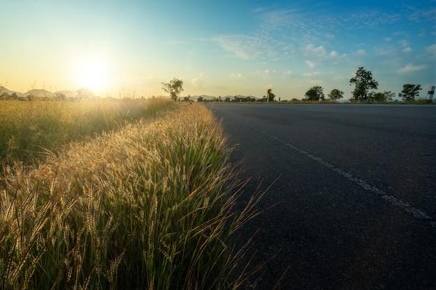 Bordo della strada crescente dell'erba di coda dello scoiattolo nel tramonto.