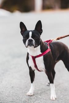 Boston terrier in bianco e nero con guinzaglio rosso e nero