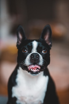 Boston terrier in bianco e nero