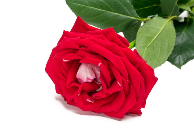 Bouquet di rose rosse isolato su sfondo di colore bianco holiday card flat lay
