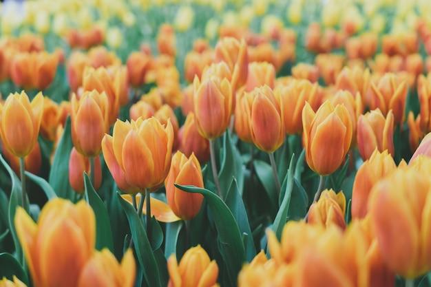 Bouquet di tulipani (tulipa spp. l.). dai una sensazione di calore al giardino. idee di giardinaggio