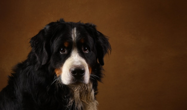 Bovaro bernese che si siede nello studio su blackground marrone e che esamina macchina fotografica