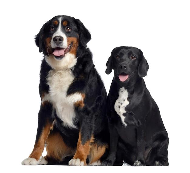 Bovaro bernese e incrocio tra labrador e beagle