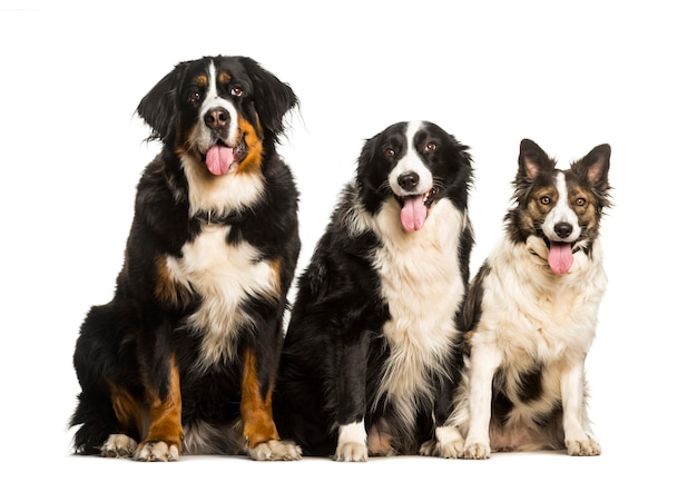 Bovaro del bernese border collie e cane di razza mista seduto su sfondo bianco