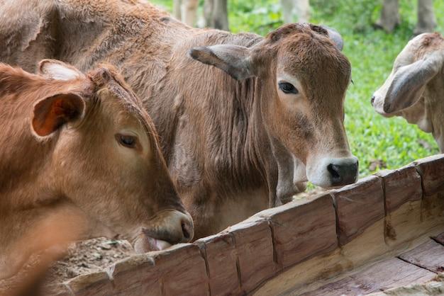 Bovini domestici in una fattoria, finca el cisne, honduras