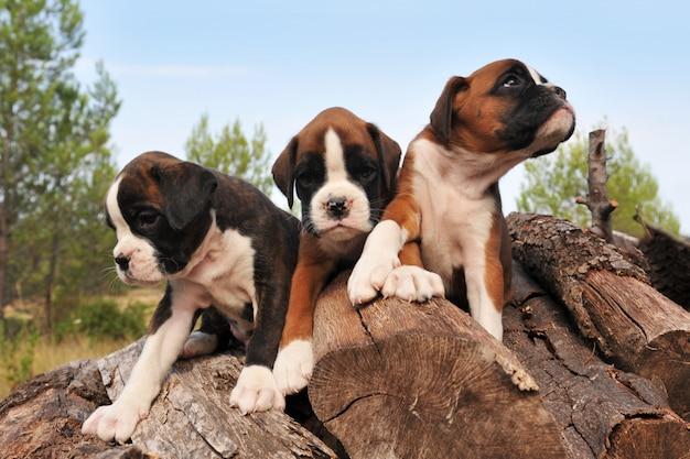 Boxer per cuccioli