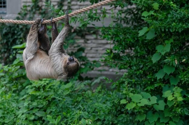 Bradipo tridattilo appeso a una corda circondato dal verde in una foresta