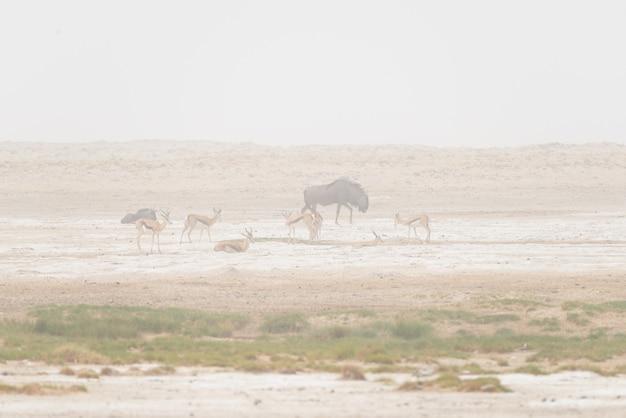 Branco di antilopi al pascolo nella padella del deserto. tempesta di sabbia e nebbia. safari della fauna selvatica nel parco nazionale di etosha, famosa destinazione di viaggio in namibia, africa.