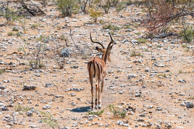 Branco di antilopi antilopi antilope saltante e di struzzi a pozza d'acqua, okaukuejo, parco nazionale di etosha, namibia