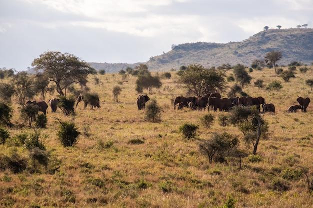 Branco di elefanti su un campo coperto di erba nella giungla in tsavo ovest, colline di taita, kenya