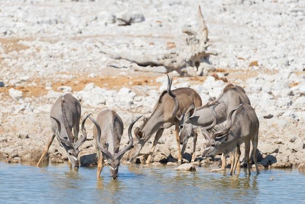 Branco di kudu che beve dalla pozza d'acqua di okaukuejo. safari della fauna selvatica nel parco nazionale di etosha.