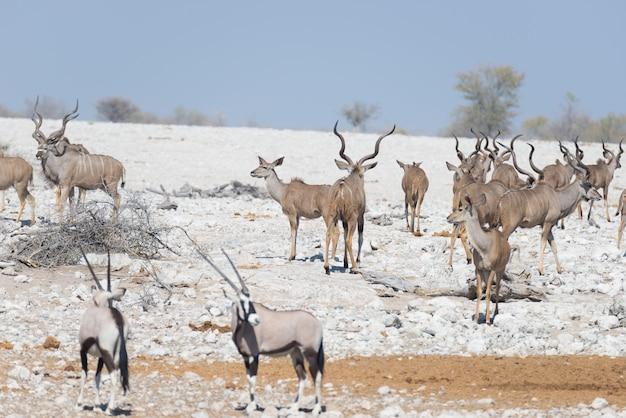 Branco di kudu che cammina nel deserto della namibia. safari della fauna selvatica nel parco nazionale di etosha, maestosa destinazione di viaggio in namibia, africa.