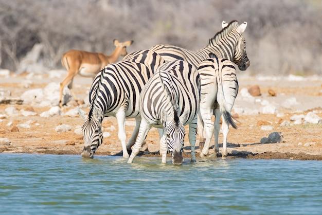 Branco di zebre che bevono dal waterhole nel bush. safari della fauna selvatica nel parco nazionale di etosha, destinazione del viaggio in namibia