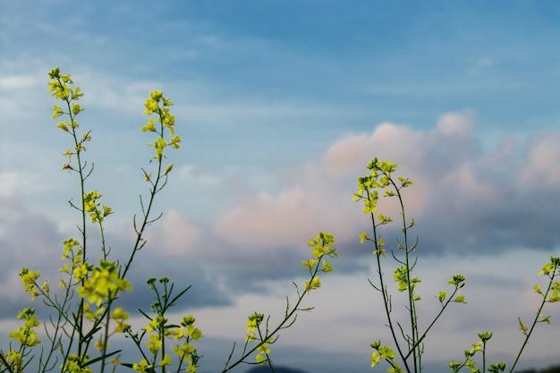 Brassica napus con cielo blu e nuvole bianche