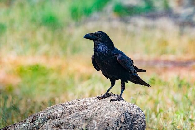 Brigh piumaggio nero di un corvo