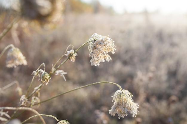Brina su erba secca nel prato. erba ricoperta di brina o fiori selvatici. primo gelo nel prato di campagna autunnale. sfondo colorato.