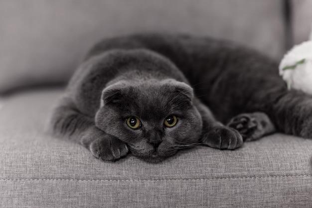Britannico della razza del gatto grigio. piccolo gatto britannico. animali domestici