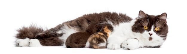 British longhair sdraiato, allattando al seno i suoi gattini, isolato