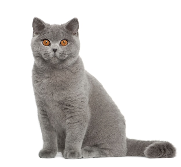British shorthair (5 mesi)