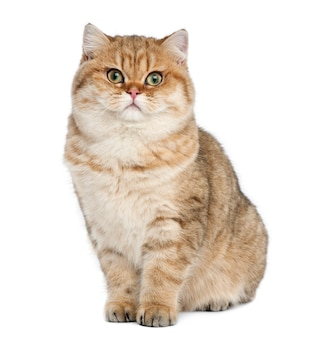 British shorthair golden shaded (7 mesi)