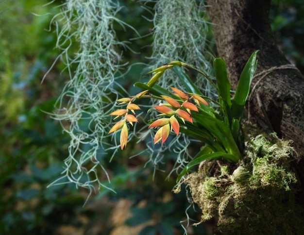 Bromelia o pianta verde di bromelia nel giardino.