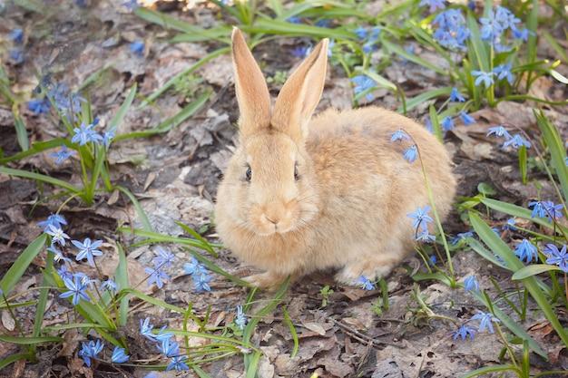 Brown bunny lanuginoso in un prato di fiori blu. un piccolo coniglio decorativo va su erba verde all'aperto