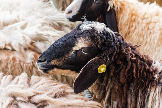Brown sheep in cerca di cibo sfondo