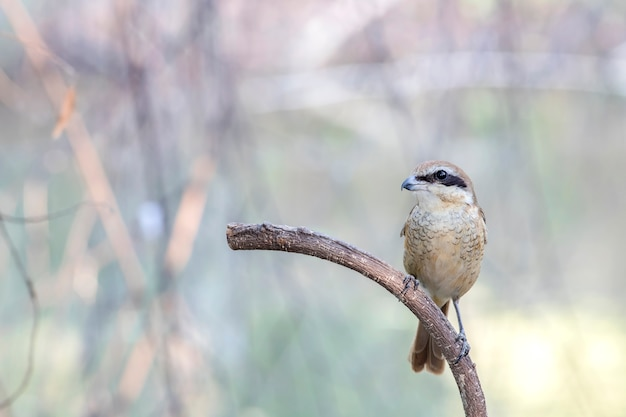 Brown shrike (lanius cristatus) su rami belli