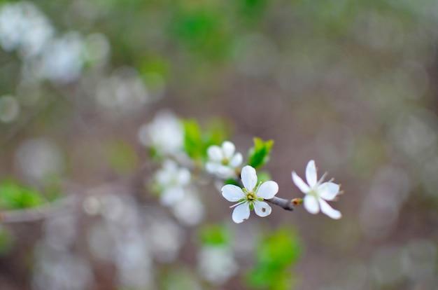 Brunch sbocciante dell'albero con i fiori bianchi su bokeh