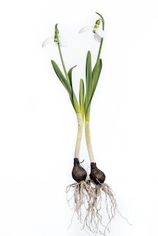 Bucaneve con le radici e lampadina isolata su bianco. bucaneve completi.