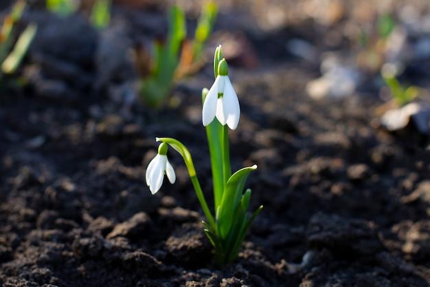 Bucaneve o bucaneve comuni galanthus nivalis fiori. fiori primaverili bucaneve.