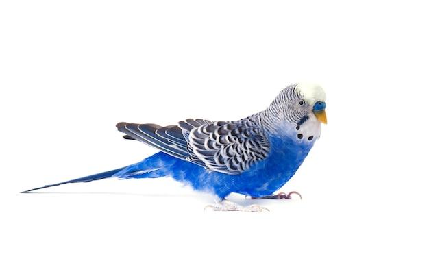 Budgie blu, isolato su bianco. budgerigar in piena crescita